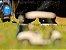 Tênis Folly Front Black Toecap - Imagem 5