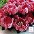 25 Forminhas Flor Gerbera Papel Rose- F062 - Imagem 1