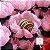 25 Forminhas Flor Gerbera Papel Rosa bb- F062 - Imagem 2