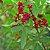Óleo Essencial de Pimenta Rosa - 10ml - Imagem 2