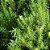 Óleo Essencial Alecrim - 10ml - Phytoterápica - Imagem 3