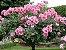 ROSAS - INDUTOR FLORAL - Age como um tônico geral estimulando a geração de flores - 30ml - Imagem 4