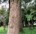Muda Canela-fogo (Cryptocarya aschersoniana Mez) - Imagem 3