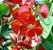 Muda Chapéu Chinês Holmskioldia sanguinea - Imagem 1