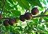 MUDA DE AMEIXA CAFÉ OU  GOVERNADOR ( Flacourtia indica ) - Imagem 2