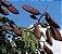 Muda de pau-ferro ou  madeira de ferro brasileira(Libidibia ferrea) - Imagem 2