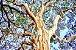 Muda de pau-ferro ou  madeira de ferro brasileira(Libidibia ferrea) - Imagem 4