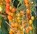 Muda Fruta de tucano ou Pau -viola ou tucaneira Atrai Pássaros - Imagem 1