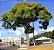 Muda de Sibipiruna  - Imagem 1