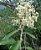 Muda  Vassourão-Branco-arvore nativa - Imagem 3