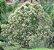 Muda  Vassourão-Branco-arvore nativa - Imagem 1
