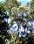 Muda  Vassourão-Branco-arvore nativa - Imagem 2