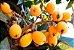 Muda de Nespera ou ameixa amarela - Eriobotrya japonica - Imagem 2