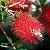 Muda de Calistemo-escova de garafa-Flor Vermelha - Imagem 2