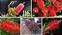 Muda de Calistemo-escova de garafa-Flor Vermelha - Imagem 1