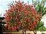 Muda de Calistemo-escova de garafa-Flor Vermelha - Imagem 3