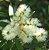 Muda Escova de Garrafa Branca Melífera atrai abelhas sem ferrão e Beija Flores - Imagem 1