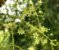 Muda Canela de Veado - Helietta apiculata - Imagem 2