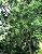 Muda Canela de Veado - Helietta apiculata - Imagem 3