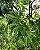 Muda Canela de Veado - Helietta apiculata - Imagem 1