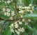 Muda Canela-amarela Nectandra lanceolata - Imagem 1