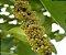 Muda Capororoca Branca( Rapanea ferruginea) - Imagem 1