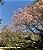Muda Ypê de duas cores-bicolor - Imagem 3