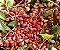Muda Camboata Vermelho-Cupania vernalis - Imagem 1