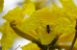 Muda Ipê Amarelo Do Brejo, Ipê da Várzea (tabebuia Umbellata) - Imagem 4