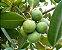 Muda de Guanandi - Calophyllum brasiliensis P - Imagem 1