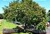 Muda de Dedaleiro - Lafoensia pacari - Imagem 2
