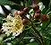 Muda de Dedaleiro - Lafoensia pacari - Imagem 1