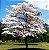 Muda de Ipê Branco - Handroanthus rosea - Alba - Imagem 1
