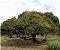 Muda de Vacum  ou Chal chal- Allophylus edulis - Imagem 3