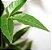 Muda de Vacum  ou Chal chal- Allophylus edulis - Imagem 2
