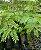 Muda de Guapuruvu - Schizolobium parahyba - Imagem 4