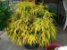 Muda Cróton Brasileirinho - Codiaeum variegatum - Imagem 3