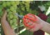 Tesoura para frutas profissional, lâminas em aço inox - Imagem 3