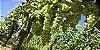 Muda de Uva Moscato Branca para Vinhos- Enxertada - Imagem 2