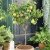Muda De Pera Smith Enxertada - 90cm - Ideal Para Vasos - Imagem 3