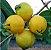 Muda de Araçá Amarelo com 80 cm - Imagem 1