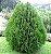 Muda de Cipreste Tuia Verde - Imagem 1