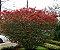 Muda da Flor Caliandra Vermelha - Imagem 2