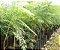 Muda de Jacarandá Mimoso-flor - Imagem 5