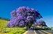 Muda de Jacarandá Mimoso-flor - Imagem 4