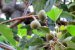 Muda Nóz-da-índia( Aleurites moluccana (L.) Willd) - Imagem 4