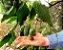 Muda Nóz-da-índia( Aleurites moluccana (L.) Willd) - Imagem 2