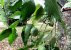 Muda Nóz-da-índia( Aleurites moluccana (L.) Willd) - Imagem 3
