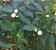 Muda Frutinha de Leite ( Cordia taguahyensis ) - Imagem 5