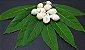 Muda Frutinha de Leite ( Cordia taguahyensis ) - Imagem 2